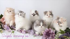 teacup persian cat. Fine Persian TRUE Petite Toy Persian Kittens With Teacup Cat I