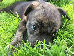 Mutt dog for Adoption in Livonia, MI ...