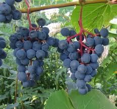 Картинки по запросу vīnogas