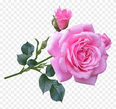 picture of a pink rose good morning gif new rose 406630
