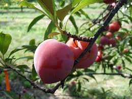 Eartheasy BlogNow Is The Time To Thin Your Fruit Trees  Eartheasy Plum Tree Not Producing Fruit