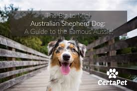 the big to mini australian shepherd dog a guide to the famous aussie