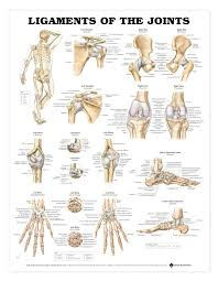 Ligaments Of The Joints Anatomy Charts Terminology For