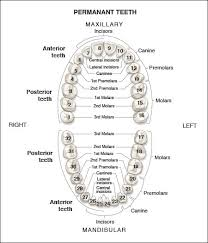 How To Count Teeth Chart Permanent Dentition An Overview Of Dental Anatomy