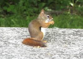Red Squirrel Tamiasciurus Hudsonicus Natureworks