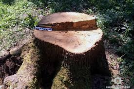 Незаконна порубка дерев на території природно-заповідного фонду
