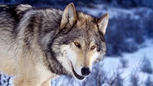 фото оскал волка одиночки
