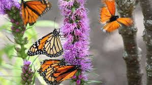 photo essay inside the butterfly exhibit duluth news tribune monarch butterflies gather on blazing stars at the lake superior zoo s new outdoor butterfly exhibit called ldquobeautiful butterflies an up close experience