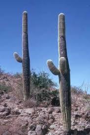 How Saguaros Grow Saguaro National Park U S National