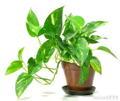 office feng shui plants. Best Plants For Office Good What Are The With Pictures Where . Feng Shui