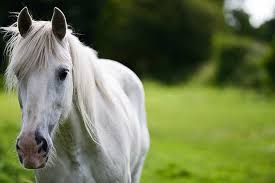 How To Prevent Grey Horses From Getting Melanomas