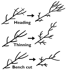 Tips On Pruning Dwarf Fruit Trees  Home Guides  SF GateDwarf Fruit Trees Virginia