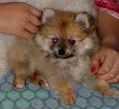 black pomeranian teddy bear cut. Contemporary Bear Grooming Pomeranians On Black Pomeranian Teddy Bear Cut R