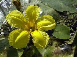 Nymphoides peltata - Wikipedia