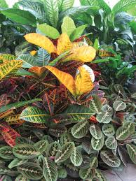 The red veining of a prayer plant repeats the hot colors of the croton; the  Chinese evergreen cools off the display.