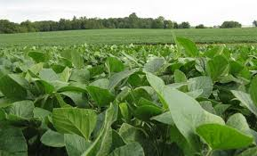 Maximizing Yield Soybean Growth Stages Armor Seed