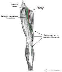 The Femoral Nerve Course Motor Sensory Teachmeanatomy