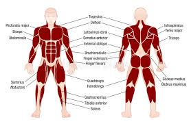 Jul 15, 2021 · human body, the physical substance of the human organism. Muscles Chart Description Muscular Body Man Stock Vector Illustration Of Deltoids Health 90796905