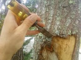 tree bark repair methods. Exellent Bark For Tree Bark Repair Methods Cape Cod Service
