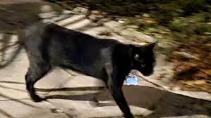 Found a cat. black fairly young. has collar with a license.... - St. Pete,  FL Patch