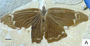 butterflies in the time of dinosaurs nary a flower in sight  yang 2014 sophogramma lii png