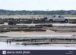 An Oyster Farm Being Tended To At Low Tide On Crows Pasture