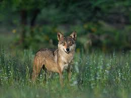 Pictures of the asian wolf