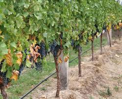 Canopy Grape Wikipedia