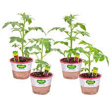 bonnie 25 oz better bush tomato patio tomato husky cherry red tomato plant