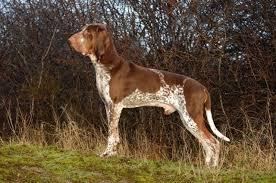 Afbeeldingsresultaat voor voorstaande hond