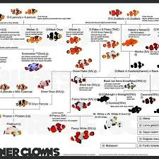 Clown Fish Identification Chart Useful Guide To Understand The Different Varieties Of Clown