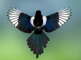 Small Picture 77 best Magpie images on Pinterest Magpie Beautiful birds and Birds