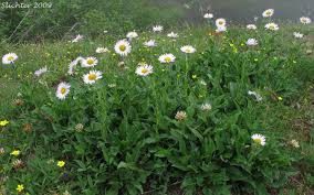 Image result for fleabane daisy