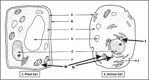 plant cell and animal cell diagram quiz biology multiple choice labeled diagram plant cell and animal cell
