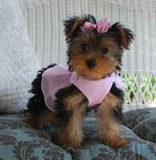lola female yorkie puppy