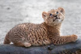 cute baby liger. Wonderful Liger This Baby Liger Is Cute Assetsnydailynewscom Intended Cute Baby Liger G
