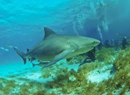 Bull Shark Wikipedia