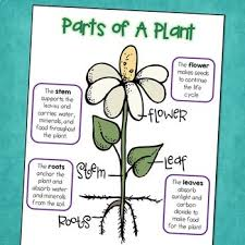 Plant Life Cycle Science Posters With Parts Of A Plant Photosynthesis Free