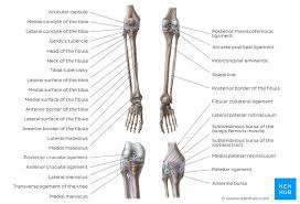 It is also known as the calf bone as it sits slightly behind the tibia on the outside of the leg. Leg And Knee Anatomy Bones Muscles Soft Tissues Kenhub