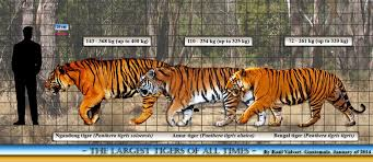 siberian tiger vs bengal tiger. Contemporary Siberian Ngandong Tiger Size Comparison Comparison Vs Amur  And Bengal  To Siberian Tiger Vs S