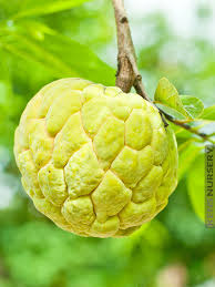 Buy Annona Cherimola Hanuman Phal  Grafted   Plant Online Annona Fruit Tree