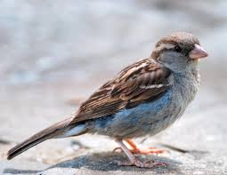 Bird Sounds And Songs Of The House Sparrow The Old