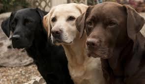 most poular dogs goldenacresdogs