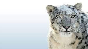 Snow leopard wallpaper ...