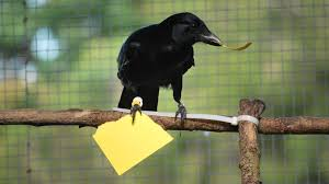 Crow Vending Machine Interesting Neat Experiment Suggests Crows Are Even Better Toolmakers Than We