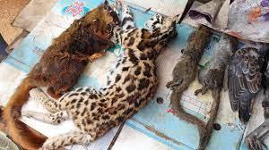 ร้านขายของป่า เสือไฟ ไก่ป่า บ่างเหลือง เสียดายซอยชีวิตกระรอกบ่ทัน  ที่เชียงขวาง สปป.ลาว - YouTube