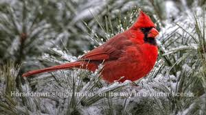 picture of red bird. Delighful Red Red Bird  T Jennings Intended Picture Of M
