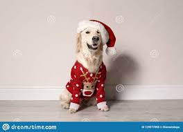 Cute Dog In Christmas Sweater Stock ...