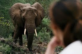 elephants south africa elephant safari wildlife incredible elephant jungle book in