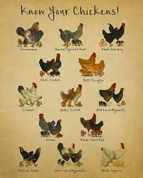 25 Unexpected Chicken Breed Chart With Pictures Of Chicks